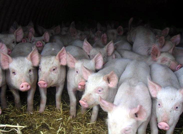 Стадо свиней